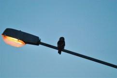 DSC_0733 Kristin King Hawk owl birdwatching northern sweden holidays