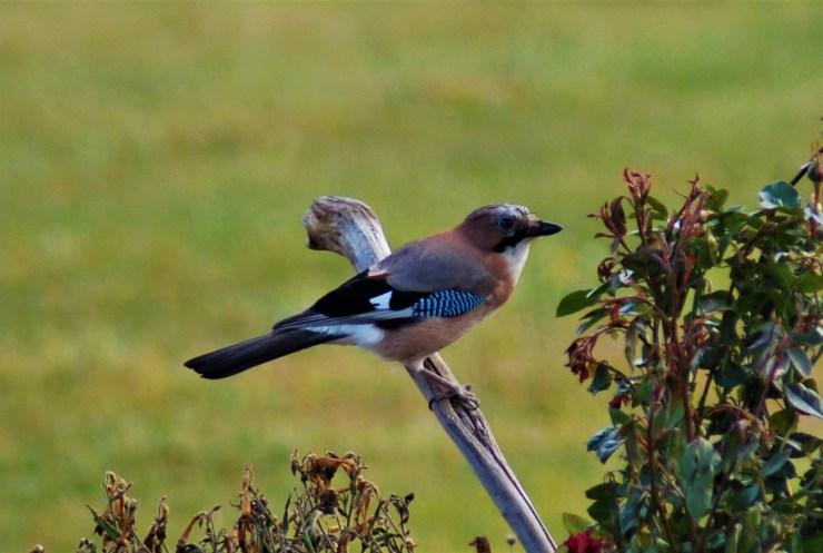 jay birdwatching northern sweden holidays