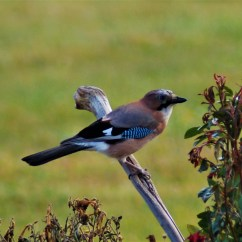 jay birdwatching northern sweden holidays