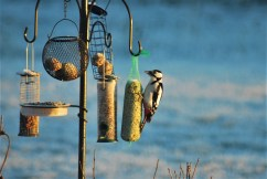 greater spotted woodpecker birdwatching northern sweden holidays