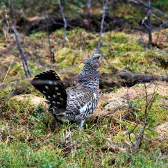 Female Capercaillie (Tetrao urogallus) in our forest in Northern Sweden.