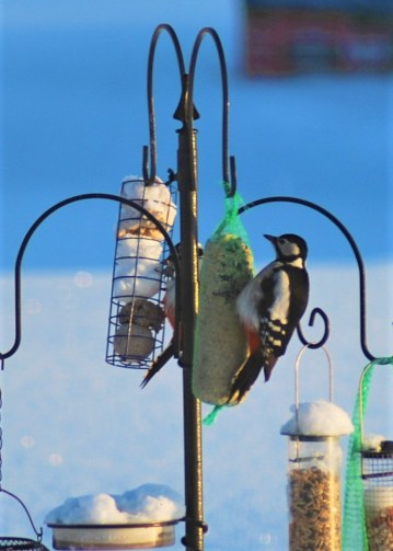 Two Great - spotted woodpeckers are on our feeders every day.
