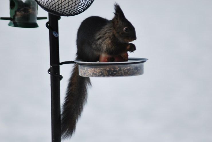 Eurasian red squirrel (Sciurus vulgaris) by swedenfishingandbirding.net