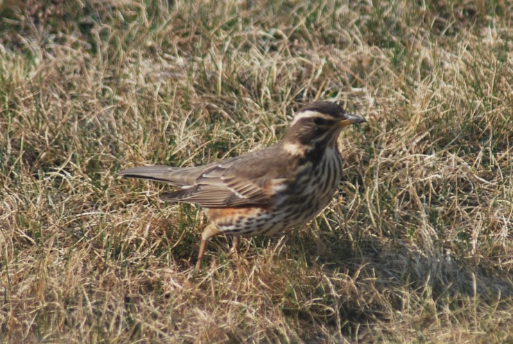 Redwing (Turdus iliacus) by swedenfishingandbirding, Northern Sweden.