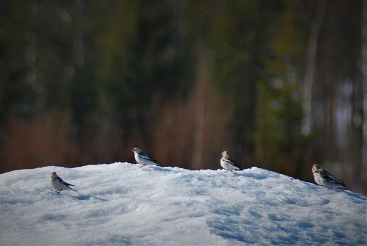Snow Bunting (Plectrophenax nivalis) by swedenfishingandbirding