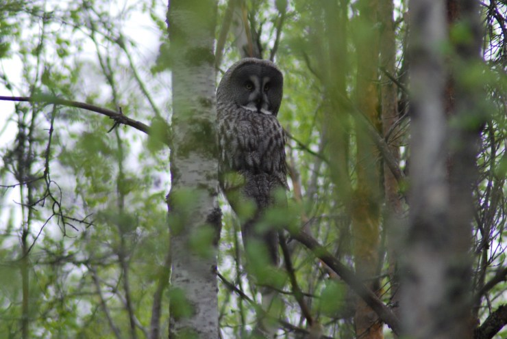 Great grey owl (Strix nebulosa) taken by sweden fishing and birding in Vasterbotten, Northern Sweden.