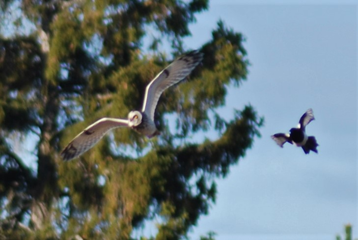 Short-eared owl (Asio flammeus) being mobbed by a Eurasian magpie (Pica pica) on our property. Photo by sweden fishing and birding.