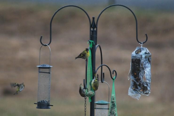 Eurasian siskin (Spinus spinus) on our bird feeder by swedenfishingandbirding@gmail.com