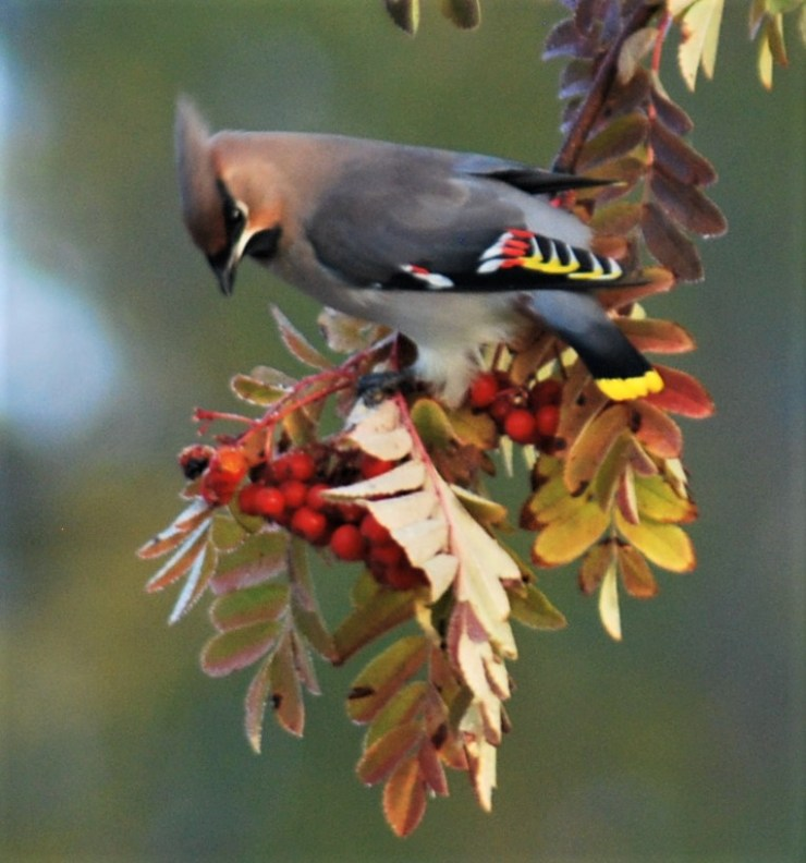 Bohemian waxwing (Bombycilla garrulus) taken by sweden fishing and birding - Northern Sweden guided bird watching tour.