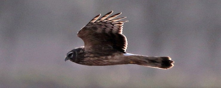 A majestic lady. Hen Harrier(Circus cyaneus).