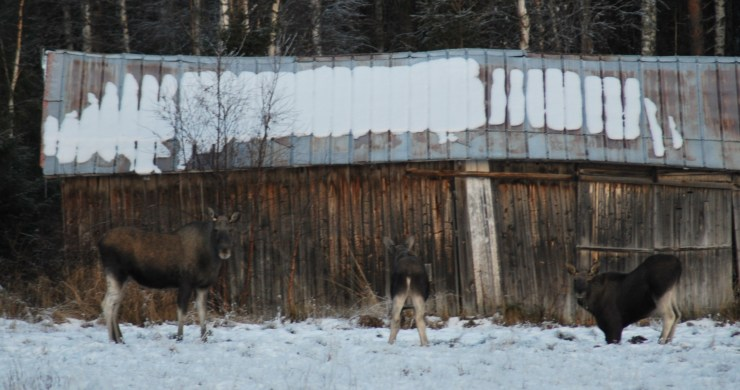 Swedish moose encounter Umea, Vasterbotten