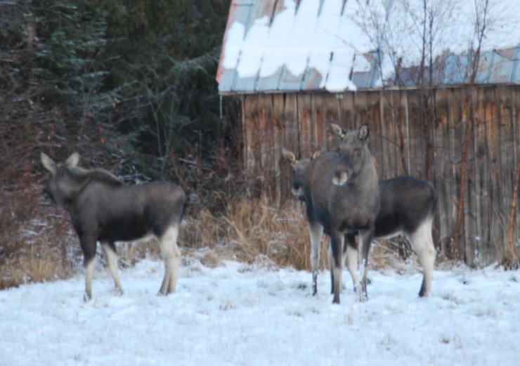 Moose watching with sweden fishing and birding