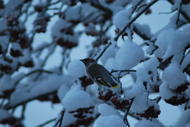 Waxwing - check out the tail and wings - dipped in wax hence the name.