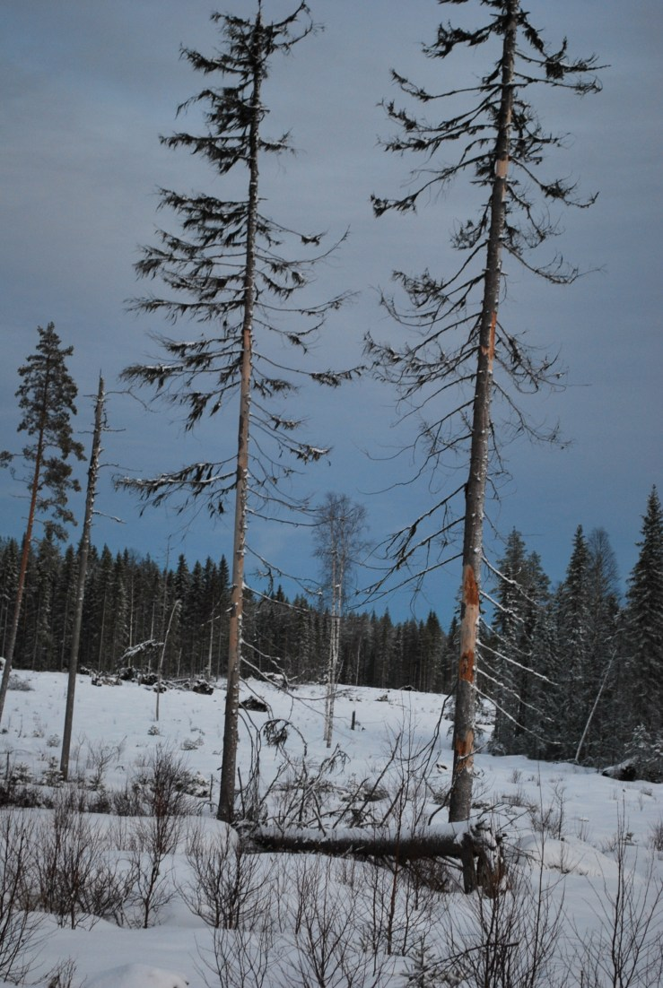 Checking mature trees in open habitat for Swedish Owls.