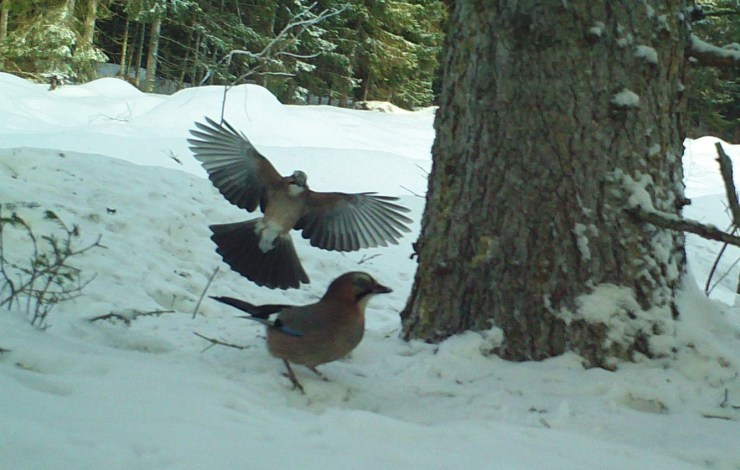 The same tree is always popular with Eurasian jay (Garrulus glandarius) - photo by sweden fishing and birding.