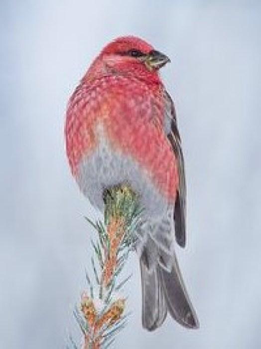 A striking male Pine grosbeak or Tallbit in Swedish.
