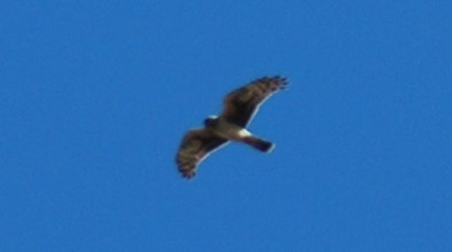 Goshawk regularly seen flying over our grassland and forest.