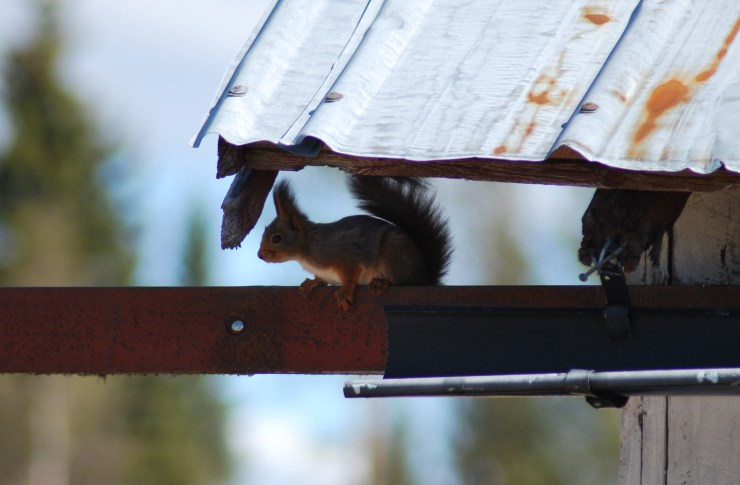 Squirrel breeding in our barn - Vasterbotten, Sweden.