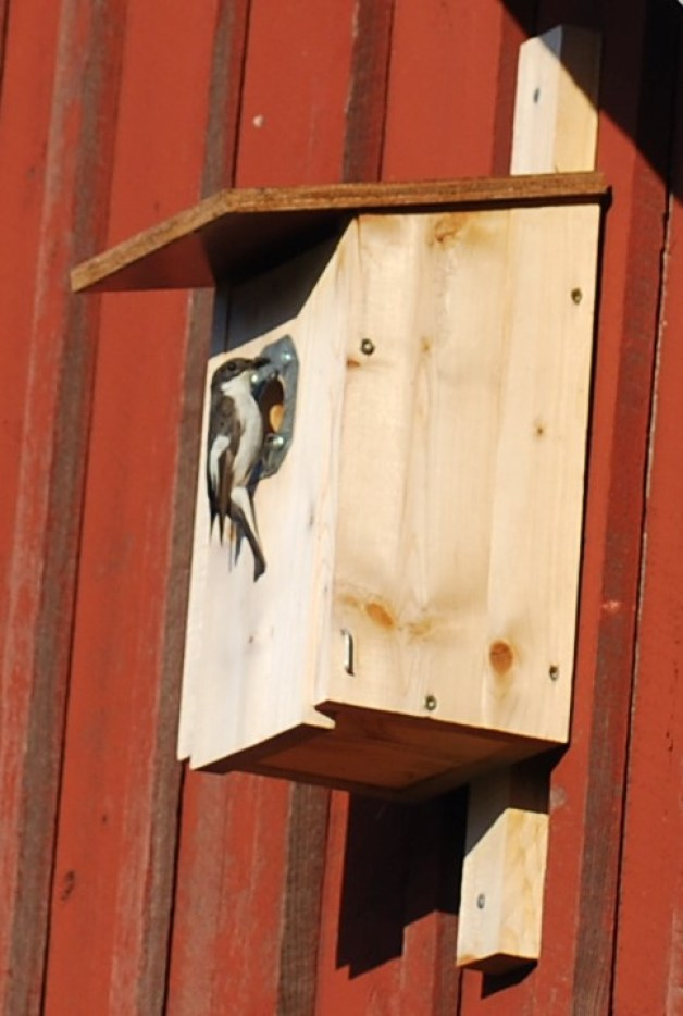 Pied flycatcher (Ficedula hypoleuca) was our top bird box inhabitant occupying five of our bird boxes this year. Here's dad on our barn.