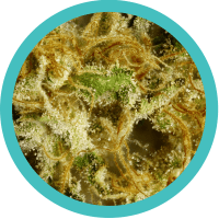 Indica-Dominant Hybrid