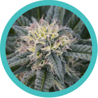 One marijuana plant – Medical Marijuana Card