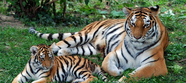 Mother Child Tiger