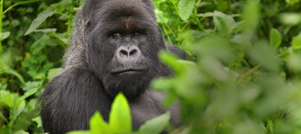 Visible Gorilla