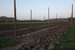 2015: Rhizome planting