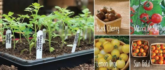 """Cherry Tomato """"rainbow"""" 4-packs"""