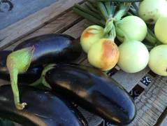 Beautiful eggplants!
