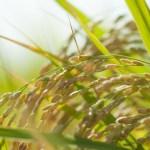 健康補助食品の発酵玄米(玄米酵素)は癌を抑制する効果がある