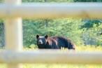 Bear Peeking Through Fence, Polebridge