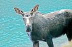 Moose, Cameron Lake2
