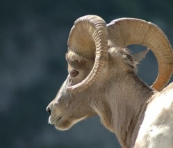 Ram Close Up