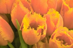 Tulips, Market