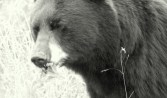 Bear Munching