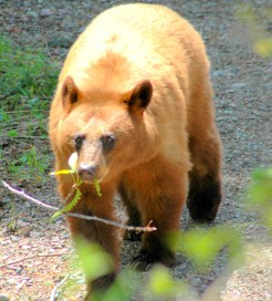 Brown Bear 2 copy
