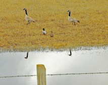 Geese and Babies with Pond Reflection