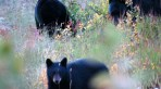 Mama Bear & Babies