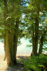 Cedars, Lake McDonald