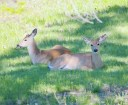 Deer Napping in the Yard