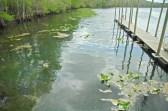 Manatee Springs Water Lillies