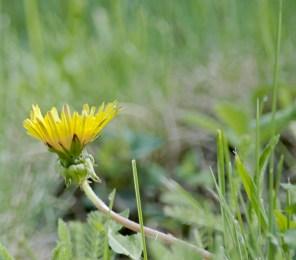 Dandelion, Side View