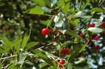 Cherries at Cherry Tree Cottage