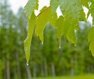 Drops, End of Leaves