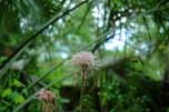 Pink Flower, Silver Springs