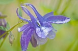 Rain Drops, Single Purple Flower
