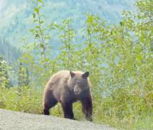 Bear, Sept. 9, Glacier