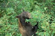 Bear Berry Picking