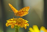 Butterfly on Yellow Flower3